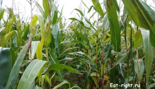 Откуда появилась кукуруза на Земле. Загадка о происхождении кукурузы…