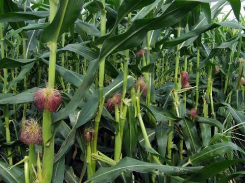 Характеристика кукурузы. Ботаническая характеристика кукурузы