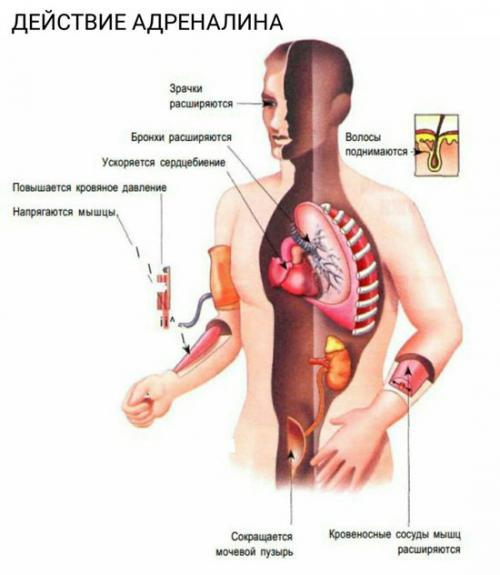 Адреналин норадреналин. Адреналин и норадреналин – что за гормоны, и каковы их особенности?