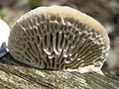 Нешляпочные грибы. Шляпочный гриб