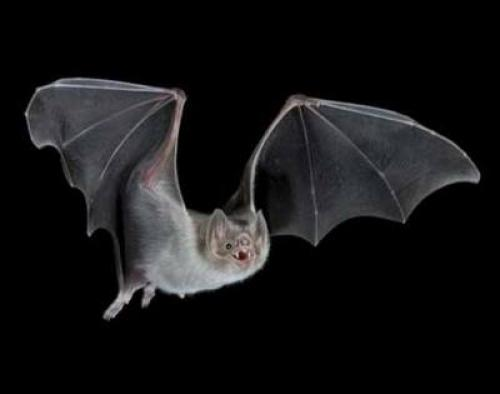 Летучие мыши. Летучая мышь – полезный вампир