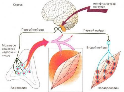 Норадреналин. Адреналин - беги; норадреналин - нападай; кортизол - замри.