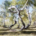 """""""Пьяные"""" леса.  Какая неведомая сила деревья скручивает?"""