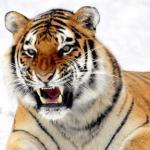 Амурский тигр, один из самых сильных хищников, который может поймать и тащить жертву, в два раза превышающую собственную массу.