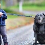 Сэмпсон - самая толстая собака Австралии.