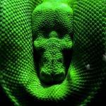 Спящий питон. Ромбические австралийские питоны - род неядовитых змей, обитающих в Индонезии, новой Гвинее и Австралии.