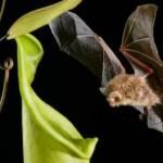 """Обнаружены хищные растения, """"Разговаривающие"""" с летучими мышами."""