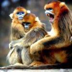 Бирманская курносая обезьяна.