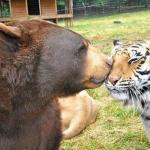 Неразлучное братство медведя, Льва и тигра.