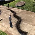 Титанобоа - вымерший вид змей.