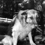 В 1987 году немецкая овчарка по кличке Габи победила в схватке ягуара, сбежавшего из клетки в зоопарке Белграда.