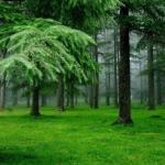 Ученые доказали, что воздух в хвойном лесу практически стерилен (не более 200-300 вредоносных бактерий на кубометр.