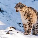 Отличные новости!  Снежные барсы наконец - то были исключены из списка вымирающих видов!